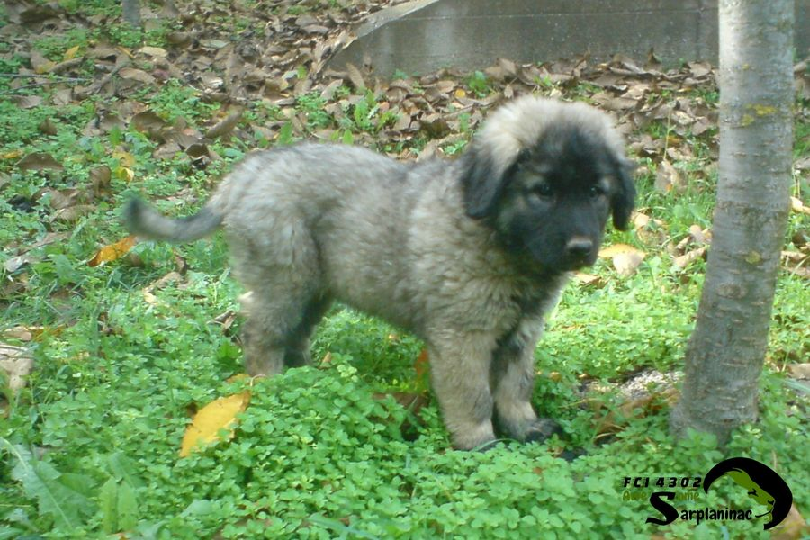 sarplaninac kennel fci 4302 by nebojsa history of breed