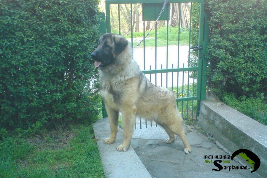 shepherd dog 17