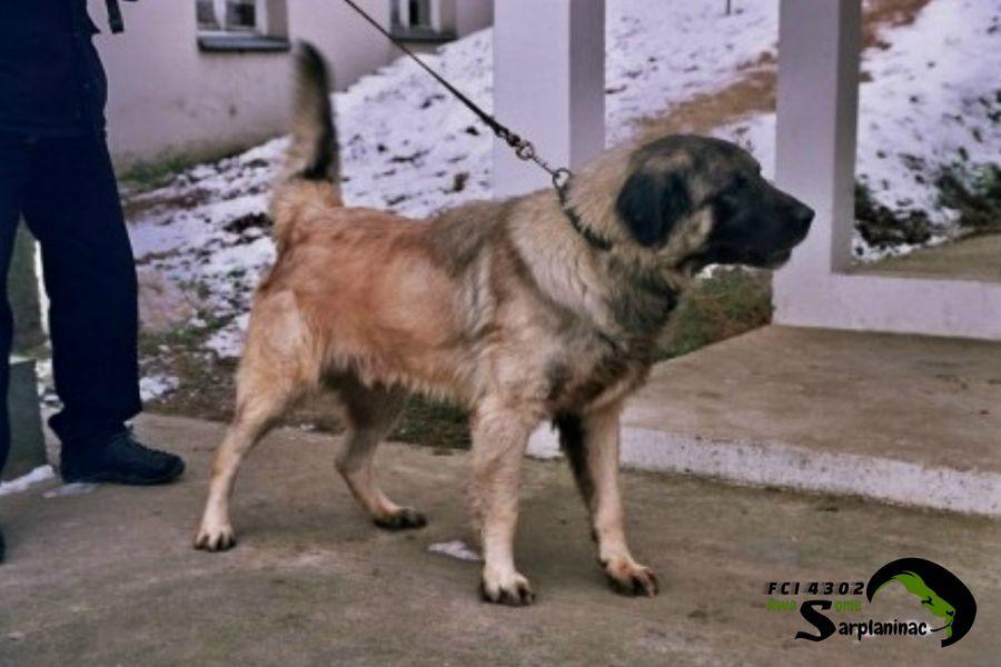 shepherd dog 6