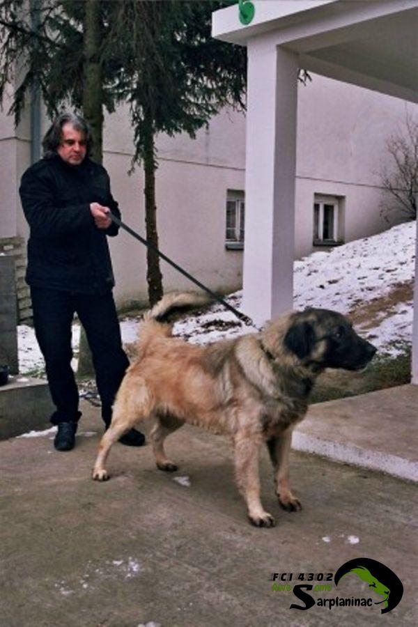 shepherd dog 8