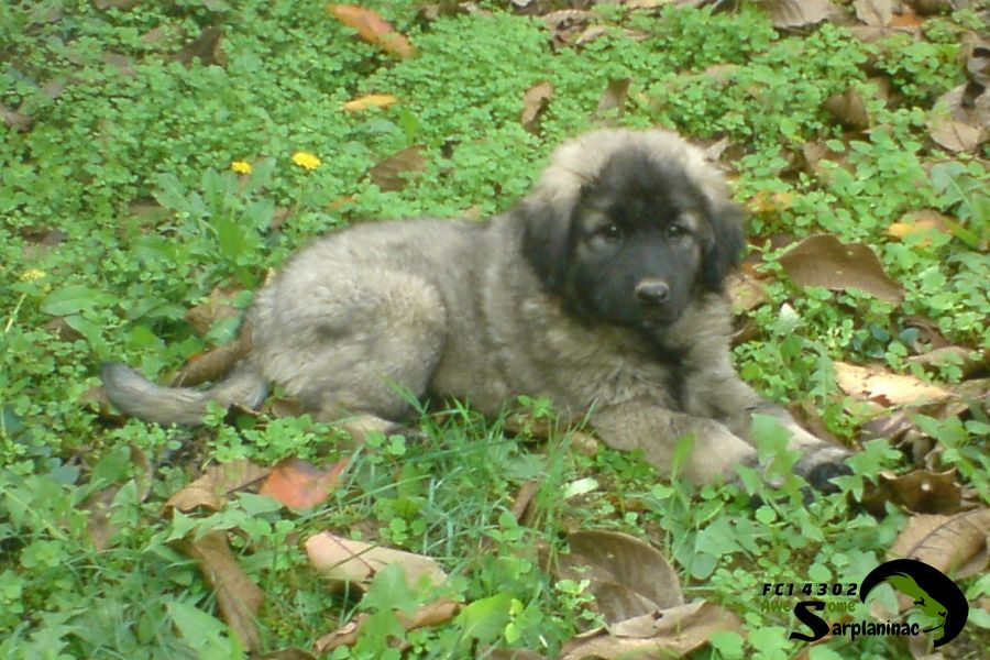 Sarplaninac Female Puppy