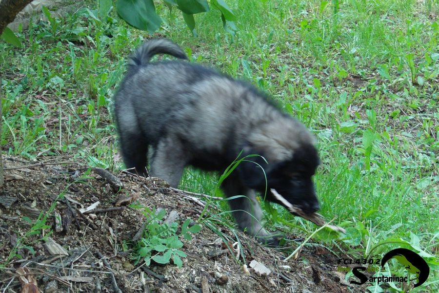 Awesome Sarplaninac Puppy