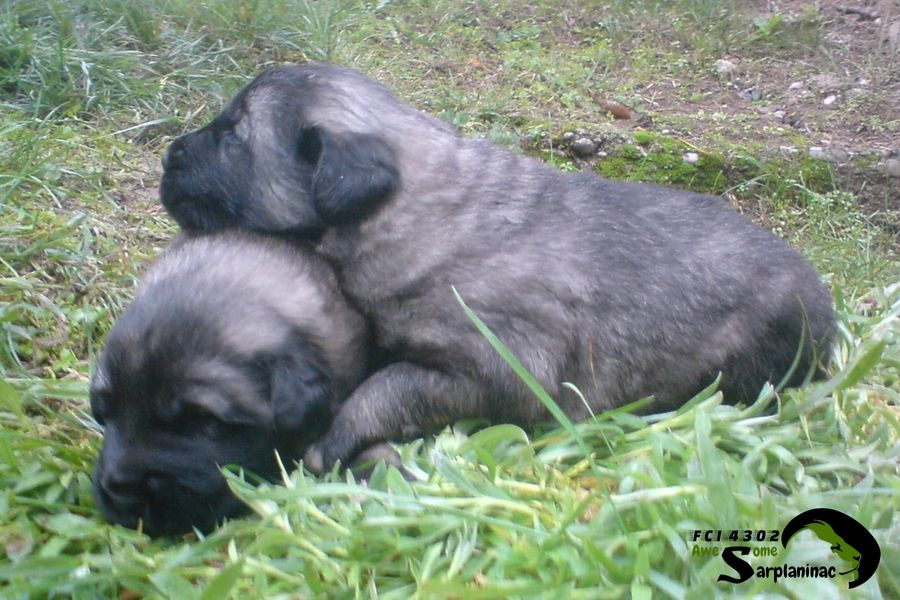 Two Iron Gray Puppies