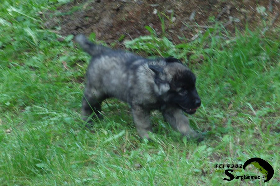 Sarplaninac Beautiful Puppy