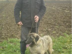 Female Shepherd Dog
