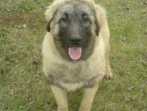 Female Sarplaninac Dog
