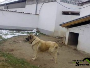 Sarplaninac Dog Serbia