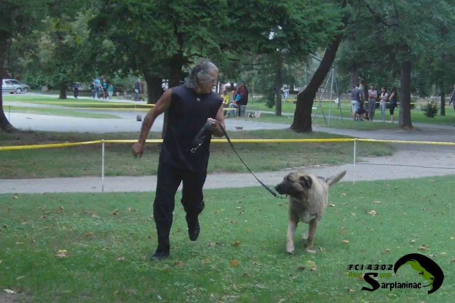 Sarplaninac Dog Tyson