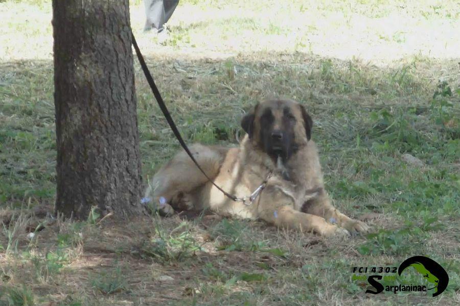 Karabash Dog Breed