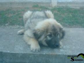 Sarplaninac Puppy Italy