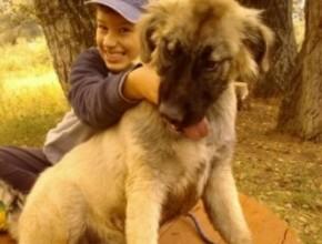 Karabash Puppy Serbia