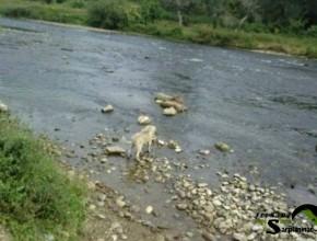 Sarplaninac Puppy Serbia
