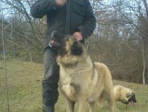 Karabash Dog Serbia