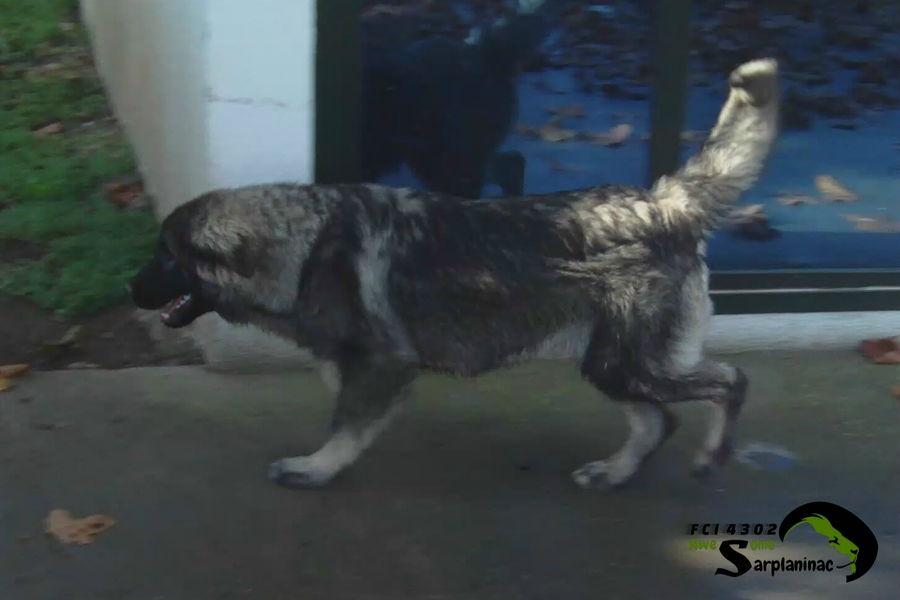 Black Dog Ben Hur