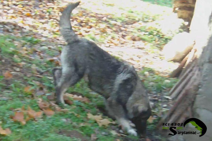 Sarplaninac Dog Ben