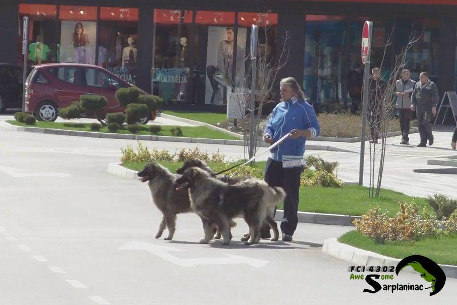 Sarplaninac Dogs