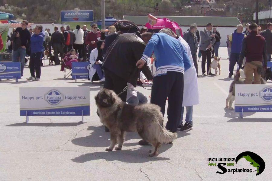 Sarplaninac Dog Haidy