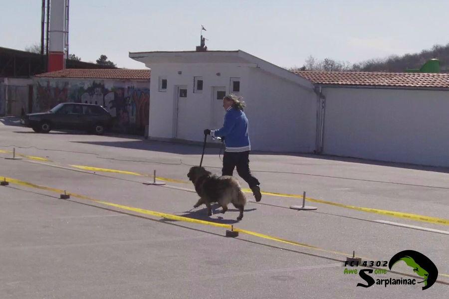 Sarplaninac Dog