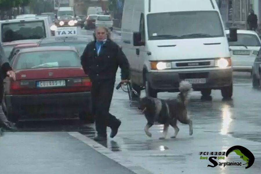 Black Sarplaninac Dog Ben