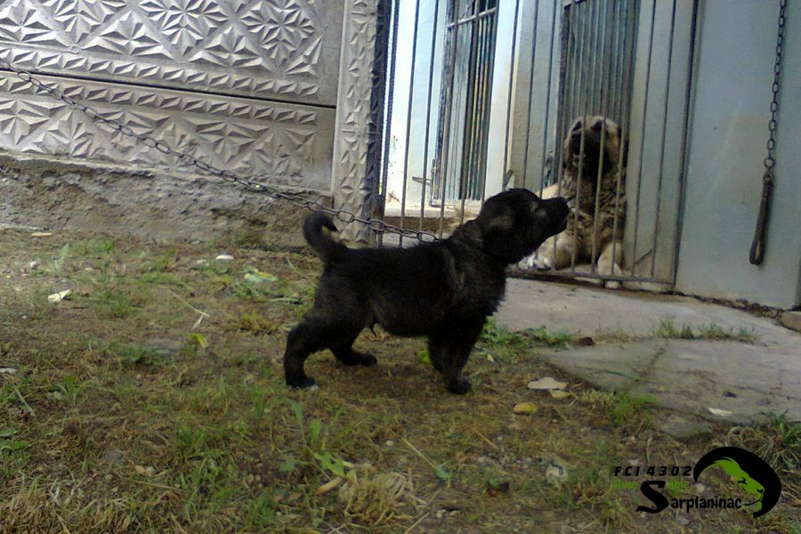 Black Puppy Arap
