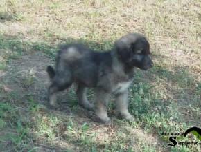 Puppy 50 days