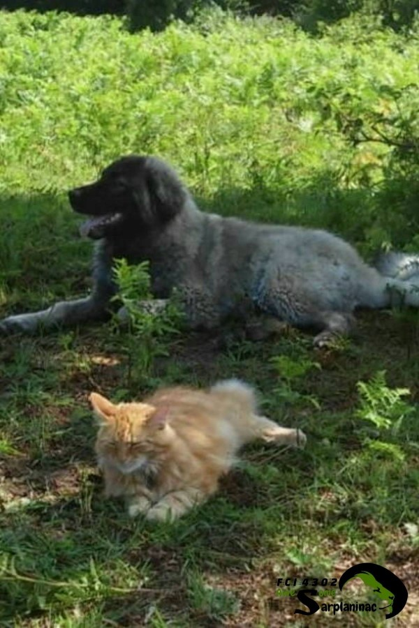 Sarplaninac Dog and Cat