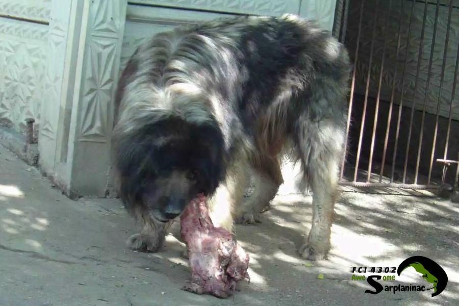 Shepherd Dog And Pork Bone