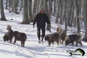 Five Sarplaninac Dogs