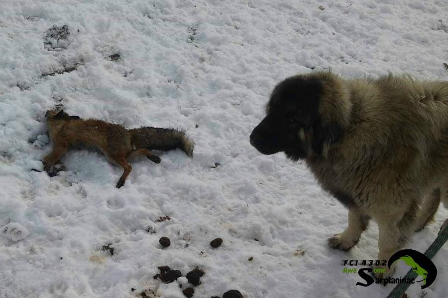 Young Sarplaninac Dog