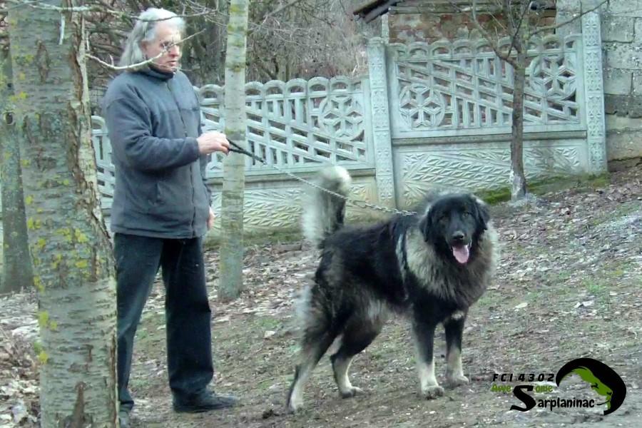 Sarplaninac Dog Bux