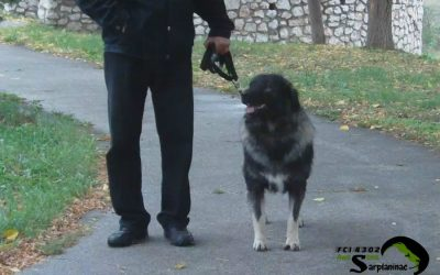 Beautiful Sarplaninac Dog Ben